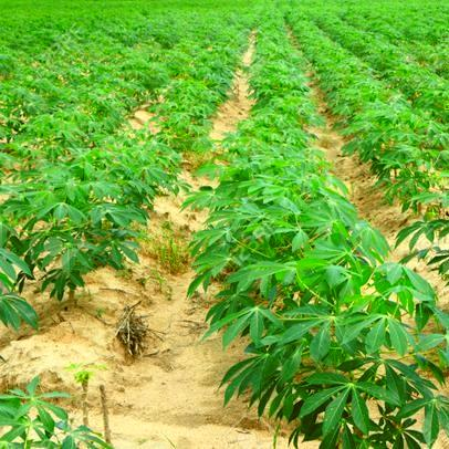 2Ha of Cassava Farm