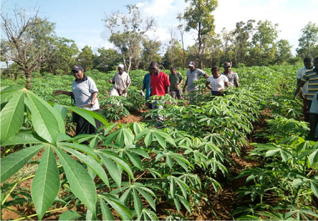 1 Acre Cassava Farm